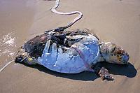 loggerhead turtle, Caretta caretta, killed by motor boat strike, Singer Island, Florida, Atlantic