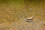 Dog swimming in Loyalsock Creek