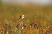 Savannah Sparrow, Passerculus sandwichensis,adult, Welder Wildlife Refuge, Sinton, Texas, USA, May 2005