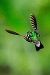 Calzonario de Buffon / colibríes de Panamá.<br /> <br /> White-vented Plumeleteer / hummingbirds of Panama.<br /> <br /> Chalybura buffonii.<br /> <br /> Edición de 25 | Víctor Santamaría.