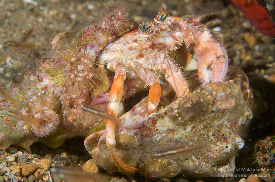 Anilao, Philippines; an Anemone Hermit Crab (Dardanus pedunculatus) trying to evict another crab from it's shell