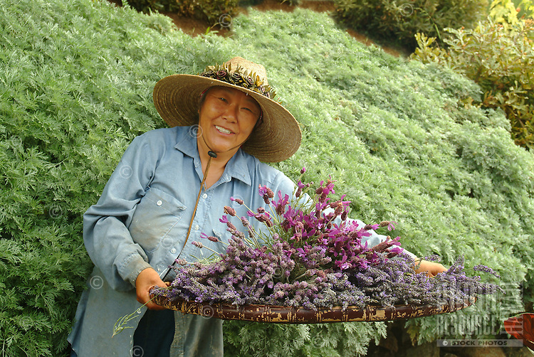 A worker holds a basket of lavender at Ali'i Kula Lavender Farm on Maui.