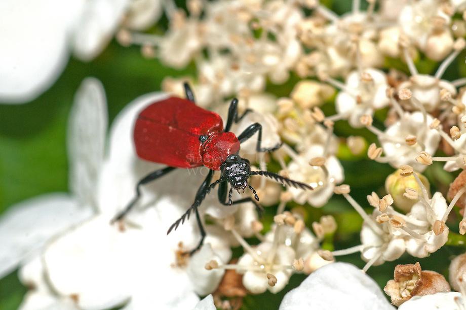 Zwartkopvuurkever (Prochroa coccinea)