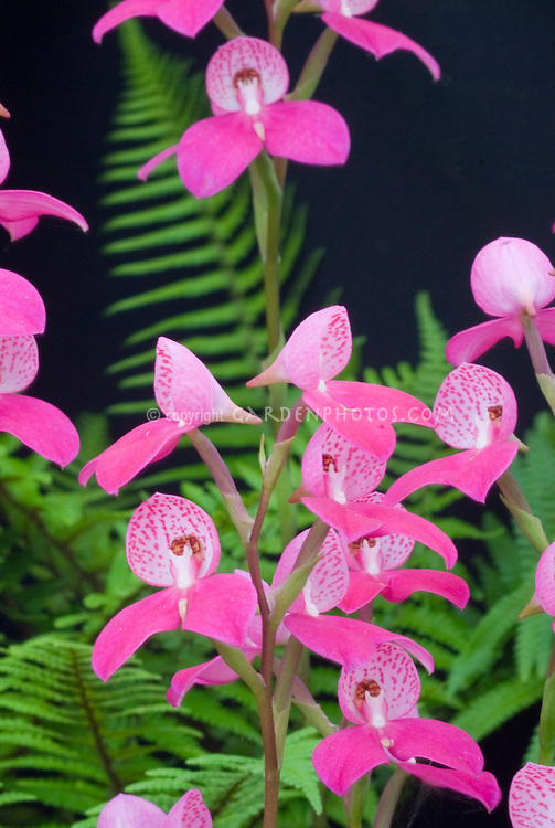 orchid stock photos  species  hybrids  images  plant  flower, Natural flower