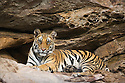 11 months old Bengal tiger cub resting at cave entrance during heat of day, April, dry season