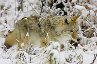 Coyote hunting in snow covered grass