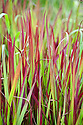 Imperata cylindrica 'Rubra' (syn. Imperata cylindrica 'Red Baron'), early July. A deciduous, rhizomatous perennial grass, also known as Japanese blood grass and Cogon grass.