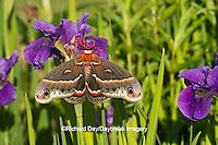 04013-00105 Cecropia Moth (Hyalophora cecropia) in flower garden, Marion Co., IL