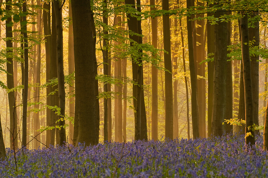 Misty Hallerbos forest at dawn, bluebellls Hyacinthoides non-scripta in the foreground, Belgium
