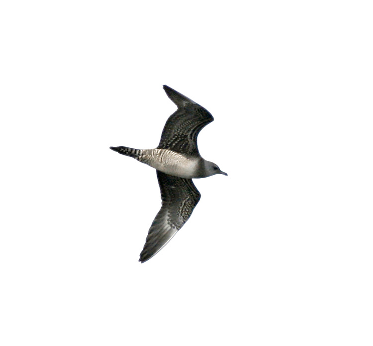 Long-tailed Skua - Stercorarius longicaudus - Juvenile. (L 36-42cm) recalls an Arctic Skua but is slimmer with much longer tail streamers in adult; long, pointed wings lack Arctic's white patch. Adult has mainly grey-brown upperparts, dark cap and whitish neck and underparts; note faint yellow flush on cheeks. Juvenile is variably barred grey-brown, palest on nape and chest. Look for it during storms on Outer Hebrides in spring, Cornish coasts in autumn.