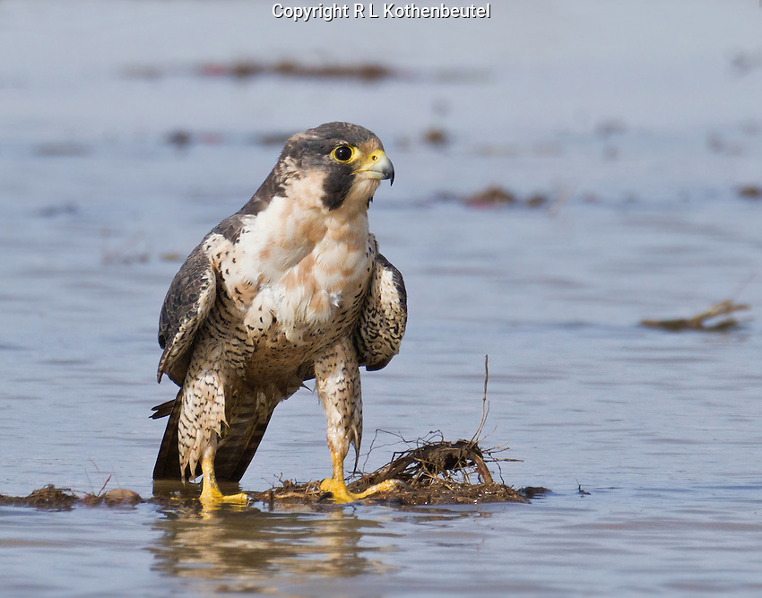 Adult peregrine falcon standing in water after having taken a bath.<br />