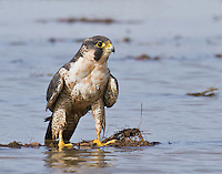 Adult peregrine falcon standing in water after having taken a bath.<br /> Samish Flats, Washington State<br /> 11/2/2012