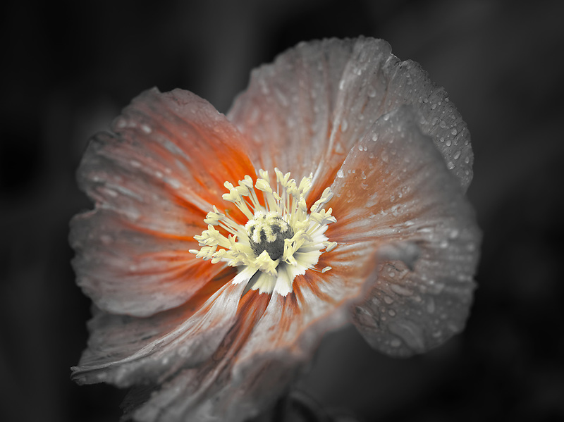 Close up of poppy flower after rain. Oregon