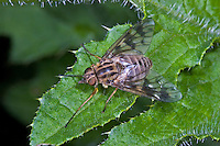 Ibisfliege, Atherix ibis, ibis fly, snipe fly, Ibisfliegen, ibis flies, Athericidae