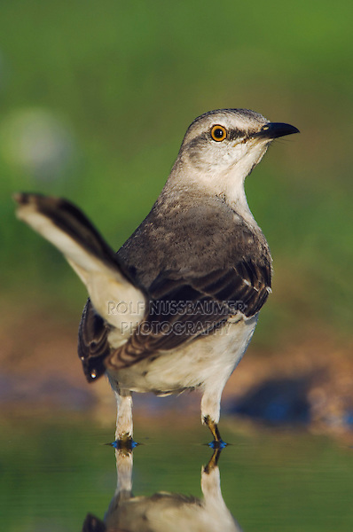 Northern Mockingbird, Mimus polyglottos, adult drinking, Uvalde County, Hill Country, Texas, USA