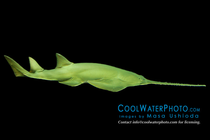 narrowsnout sawfish, longcomb sawfish or green sawfish, Pristis zijsron, critically endangered, Indo-West Pacific Ocean
