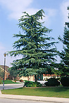 11437-CD Deodar Cedar, Cedrus Deodara, mature specimen in front yard, at Bakersfield, CA USA.