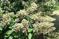Hydrangea paniculata 'Unique'