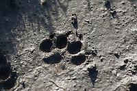 Haushund, Hund, Fußspur, Fußabdruck, Trittsiegel im Schlamm, dog, Canis lupus familiaris