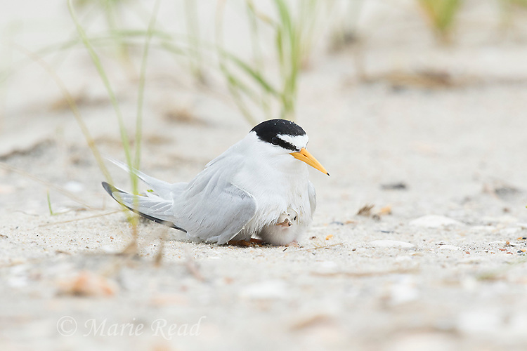 Least Tern (Sterna antillarum) adult brooding chick at nest, Nickerson Beach, Long Island, New York, USA