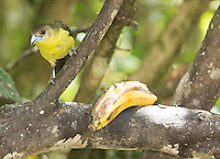 Female lemon-rumped tanager, Ramphocelus icteronotus, perched at a feeder in Tandayapa Valley, Ecuador