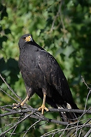 Common Black Hawk; Big Bend National Park