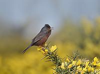 Dartford warbler - Sylvia undata