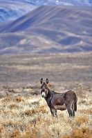 Wild burro. Near Dinio