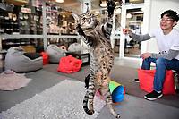 Neko Ngeru Cat Adoption Cafe, Lower Hutt,  Wellington, New Zealand on Thursday 25 April 2019. <br /> Photo by Masanori Udagawa. <br /> www.photowellington.photoshelter.com