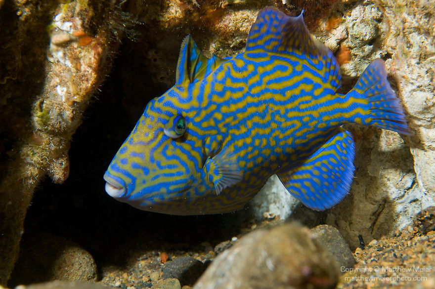 Anilao, Philippines; a juvenile Blue Triggerfish (Pseudobalistes fuscus) tucked into the coral reef