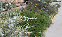 "The front yard of a San Juan Capistrano house seen during the 2018 ""California in my garden"" plant tour of the Orange County Chapter of the California Native Plant Society.  Highlighted are a  white mallow (Sphaeralcea fulva  'La Luna'), a prostrate form of Eriogonum fasciculatum, california poppies, and Layia platyglossa, Tidy Tips."