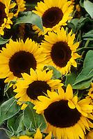 Sun flowers display Pike Place Market Seattle Washington