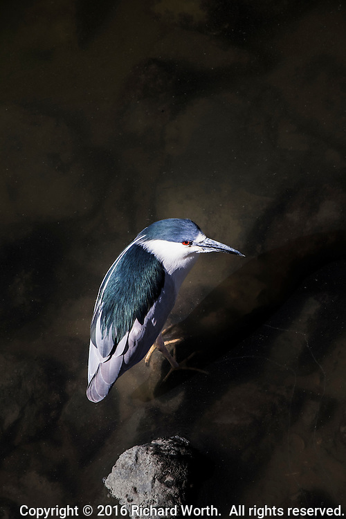 A Black-crowned Night-heron stands in the shallows near the berths at the San Leandro Marina.