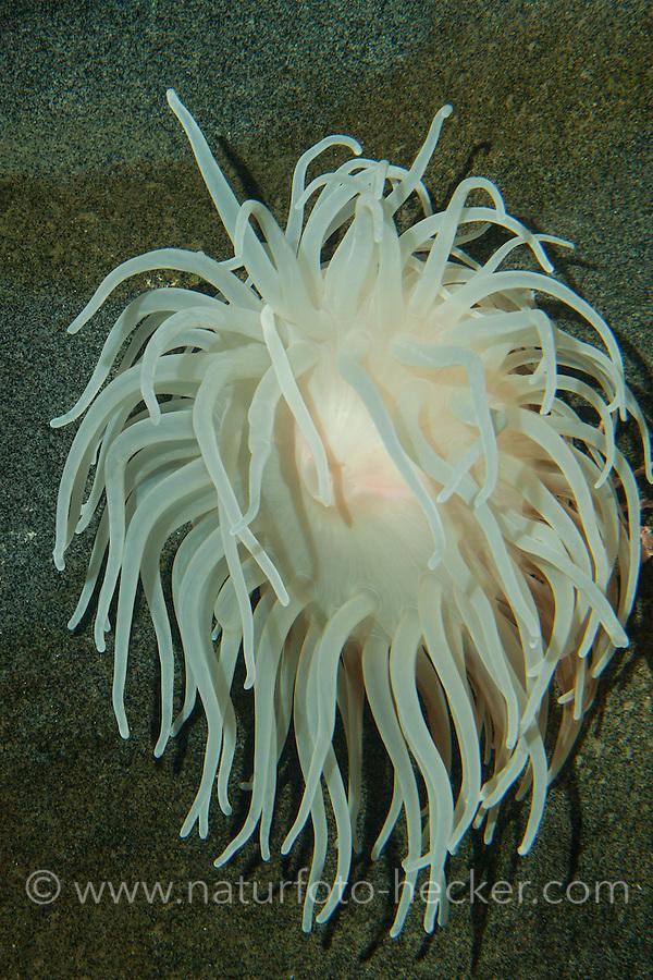 Glatte Seedahlie, Schlammseerose, Schlamm-Seerose, Bolocera tuediae, Deeplet sea anemone, Blumentier, Blumentiere, Anthozoa, anemones, sea anemones