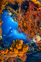 Liberty Wreck, Coral with Diver, Tulamben, Bali, Indo-Pacific, Indonesia