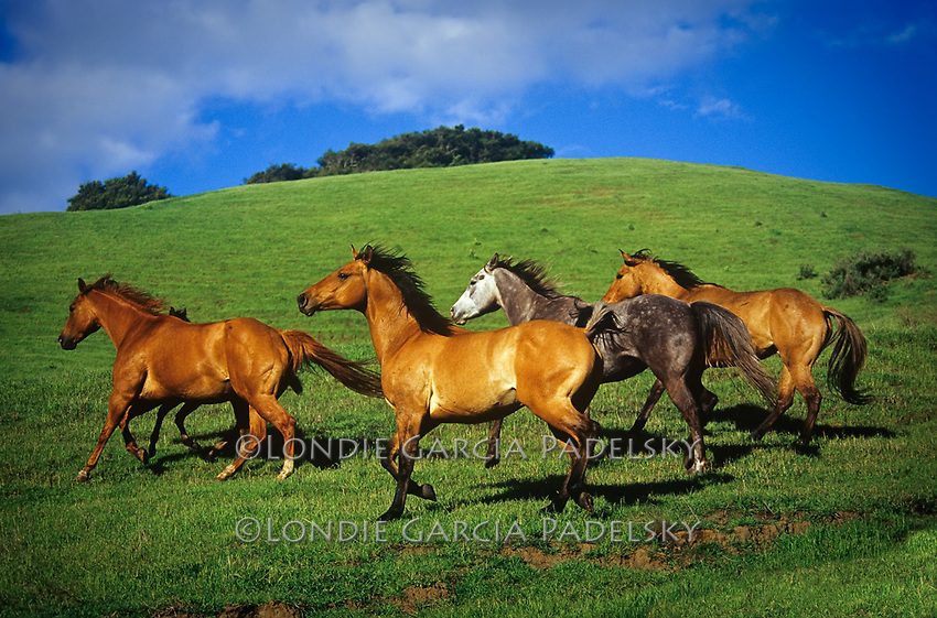 Herd of horses on green rolling hills, Central Coast, California
