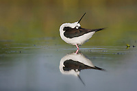 Black-necked Stilt (Himantopus mexicanus), adult, Sinton, Corpus Christi, Coastal Bend, Texas, USA