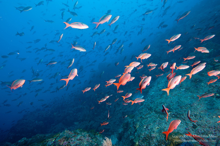Cocos Island, Costa Rica; a school of Pacific Creolefish (Paranthias colonus) swimming over the rocky reef