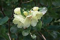 Rhododendron wardii, Over Alderley, Cheshire.