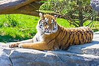 Siberian tiger, Amur tiger, Panthera tigris altaica, endangered species (c)