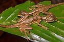 Common Basilisk lizard juveniles {Basiliscus basiliscus} Drake Bay, Osa Peninsula, Costa Rica, May.