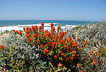 Paintbrush at Pescadero State Beach