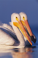 American White Pelican, Pelecanus erythrorhynchos, adults swimming, Rockport, Texas, USA