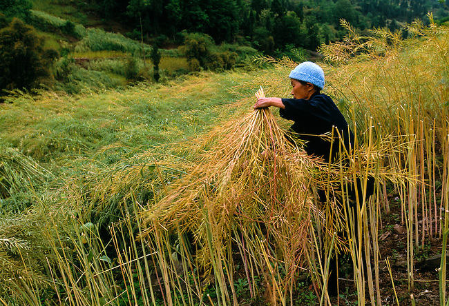 woman farmer harvesting rapeseed near Wanxian in rural China , Asia