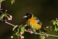 Male Baltimore Oriole or Northern Oriole (Icterus galbula) perched on apple tree limb.  Great Lakes Region.