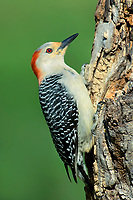 597990017 a wild male red-bellied woodpecker perches on a dead mesquite tree in the small town of lipscomb texas