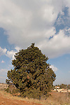 Cypress tree (cupresus sempervirens) in Ilania, the Lower Galilee, Israel<br />