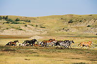 WILD HORSE herd running in Theodore Roosevelt National Park, North Dakota.  Summer..(Equus caballus)