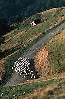Europe/France/Aquitaine/64/Pyrénées-Atlantiques/Haute Soule: Moutons au col d'Orgambideska