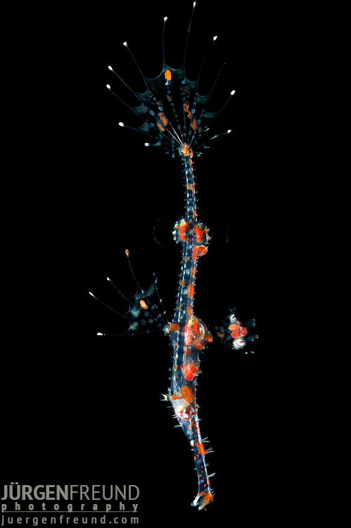Juvenile harlequin ghost pipefish, Solenostomus paradoxus
